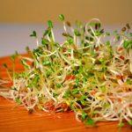 alfalfa en brotes