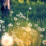 Dandelion-Field-Wallpaper