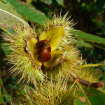 Sweet-Chestnut-500-x-500