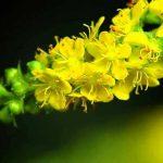 agrimonia-planta-medicinal