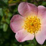rosa_silvestre